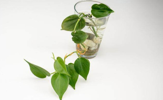去除甲醛植物有哪些